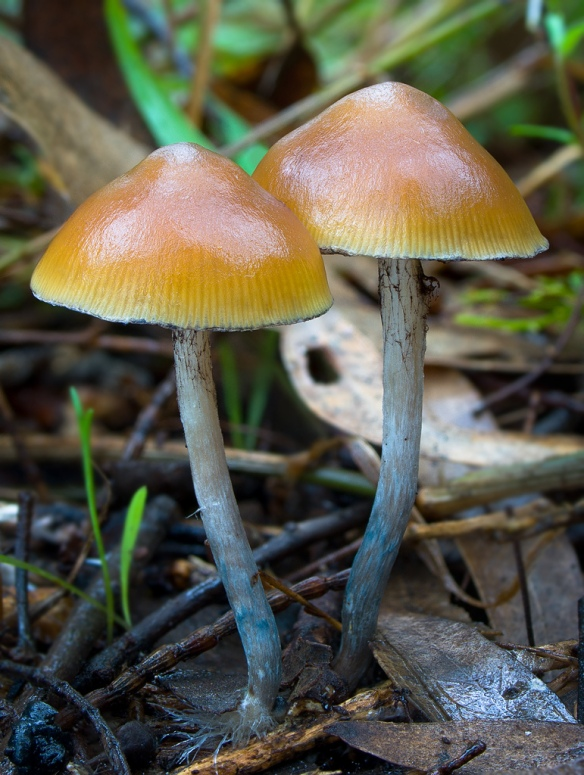 psilocybe subaeruginosa