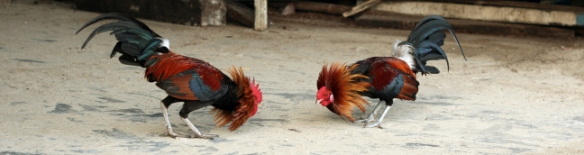 philippines-el-nido-cock-fighting